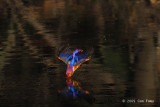 Kingfisher, Black-backed @ MacRitchie
