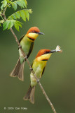 Bee-eater, Chestnut-headed @ Penanti