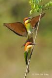 Bee-eater, Chestnut-headed @ Penanti