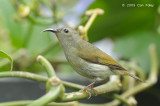 Sunbird, Black-throated (female) @ Jln Girdle
