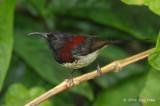 Sunbird, Black-throated (male) @ Richmond Bungalow