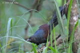 Coucal, Philippine (adult) @ Subic