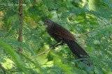 Coucal, Philippine (juv) @ Subic