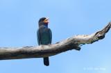 Dollarbird @ Palawan