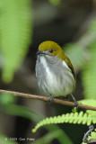 Flowerpecker, Olive-backed (female) @ PICOP