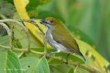 Flowerpecker, Olive-backed (male) @ PICOP