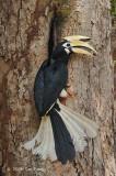 Hornbill, Oriental Pied (male) @ Pulau Ubin