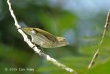 Flowerpecker, Striped @ Palawan