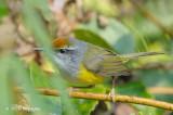 Tailorbird, Mountain @ Fraser's Hill