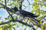 Crow, Large-billed