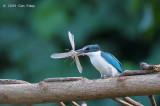 Kingfisher, Collared @ Caylabne Bay