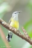 Sunbird, Cooper-throated (female) @ Sabang