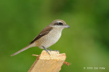Shrike, Brown @ Subic
