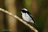 Flycatcher, Little Pied (male) @ Telecom Loop