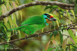 Barbet, Black-browed @ Jln Lady Maxwell