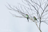 Bee-eater, Blue-throated @ Telecom Loop