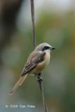 Shrike, Brown @ Jln High Pines