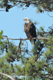 Eagle, Bald @ Jamestown, VA