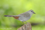Catbird, Grey @ Central Park, NY