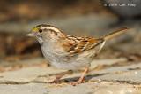 Sparrow, White-throated @ Central Park, NY