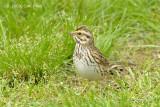 Sparrow, Savannah @ Central Park, NY