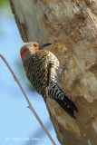 Flicker, Northern (male) @ Central Park, NY