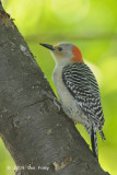 Woodpecker, Red-bellied (female) @ Central Park, NY