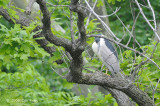 Heron, Black-crowned night @ Central Park, NY