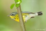 Warbler, Magnolia (non-breeding) @ Central Park, NY