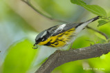 Warbler, Magnolia (male) @ Central Park, NY