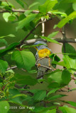 Parula, Northern (male) @ Central Park, NY