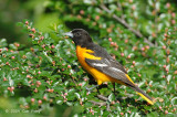 Oriole, Baltimore (male) @ Central Park, NY