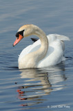 Swan, Mute @ Cape May, NY