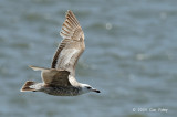 Gull, Greater Black-backed (juv) @ Cape May to Lewes Ferry