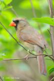 Cardinal, Northern (female) @ Central Park, NY
