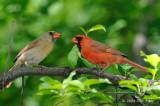 Cardinal, Northern (pair) @ Central Park, NY