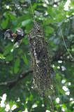 Broadbill, Dusky (nest)