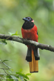 Trogon, Diard's (male)