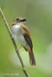 Flycatcher, Grey-chested Jungle