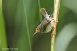 Tailorbird, Ashy