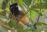 Malkoha, Raffles's (male)