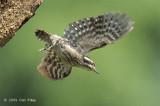 Woodpecker, Sunda Pygmy @ SBG