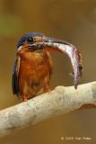 Kingfisher, Blue-eared