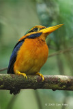 Kingfisher, Rufous-collared (male)