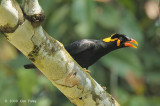 Myna, Hill Common