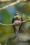Treeswift, Whiskered (female on nest)