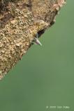 Woodpecker, Sunda Pygmy (chick) @ SBG