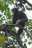 Gibbon, White-handed