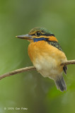Kingfisher, Rufous-collared (juv female)