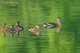 Duck, Wandering Whistling @ Nusa Dua